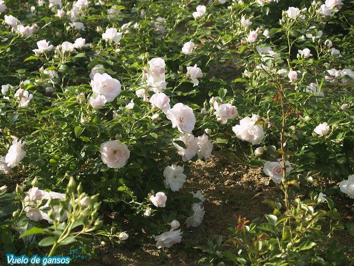Rosas del jardín en Solius